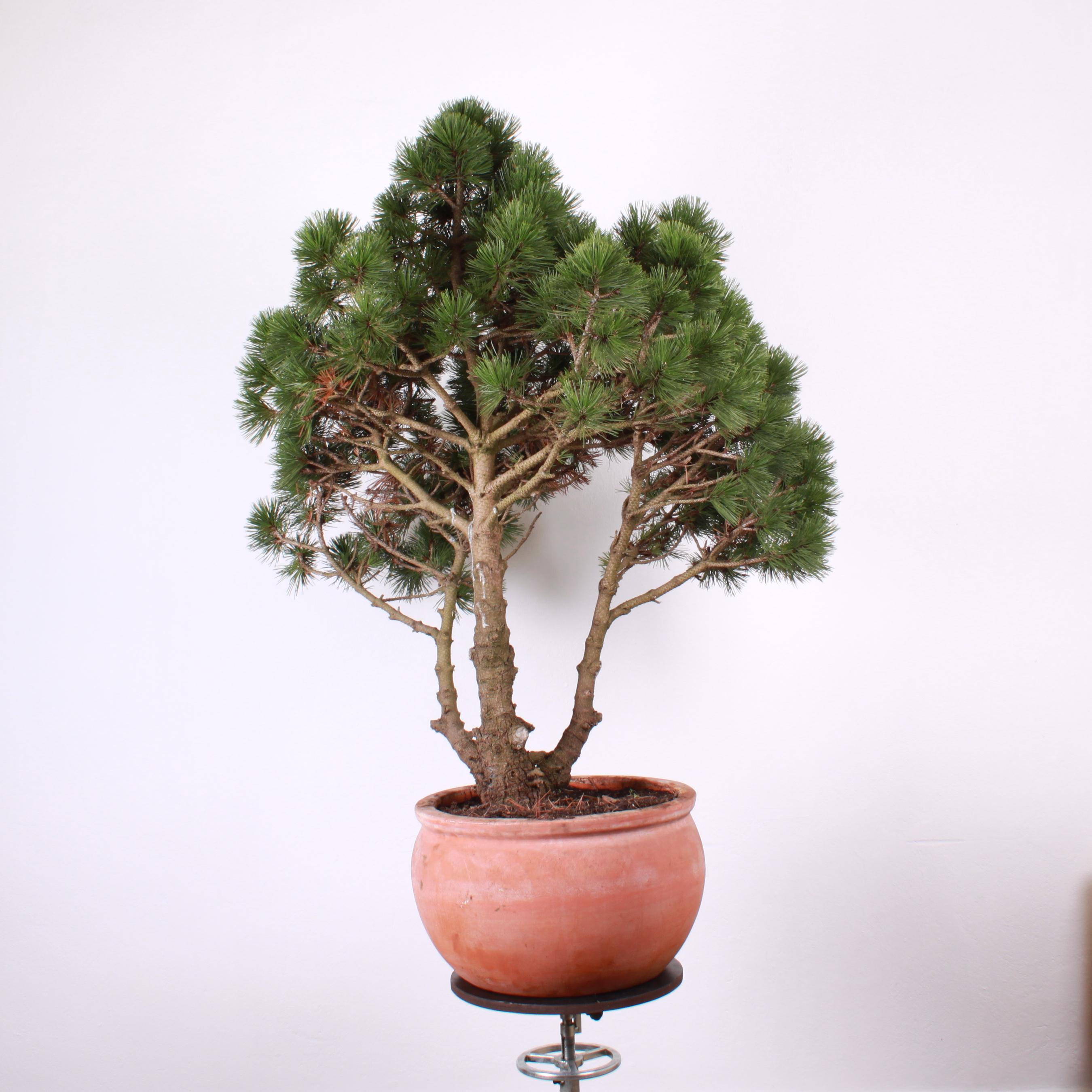 Borovica pred tvarovaním, zadná strana stromu