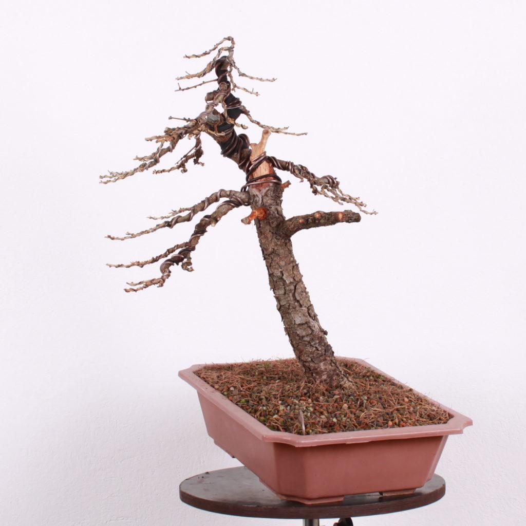 Larix po vytvarovaní