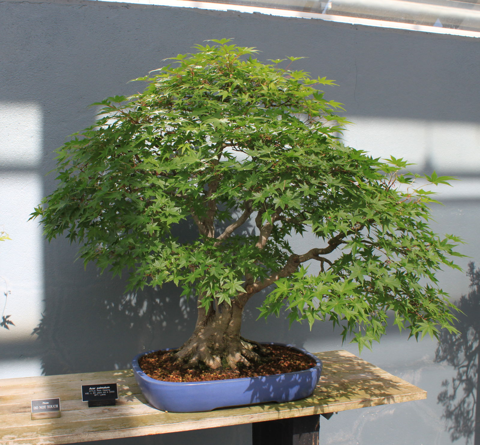 Javor dlaňolistý (Acer palmatum)