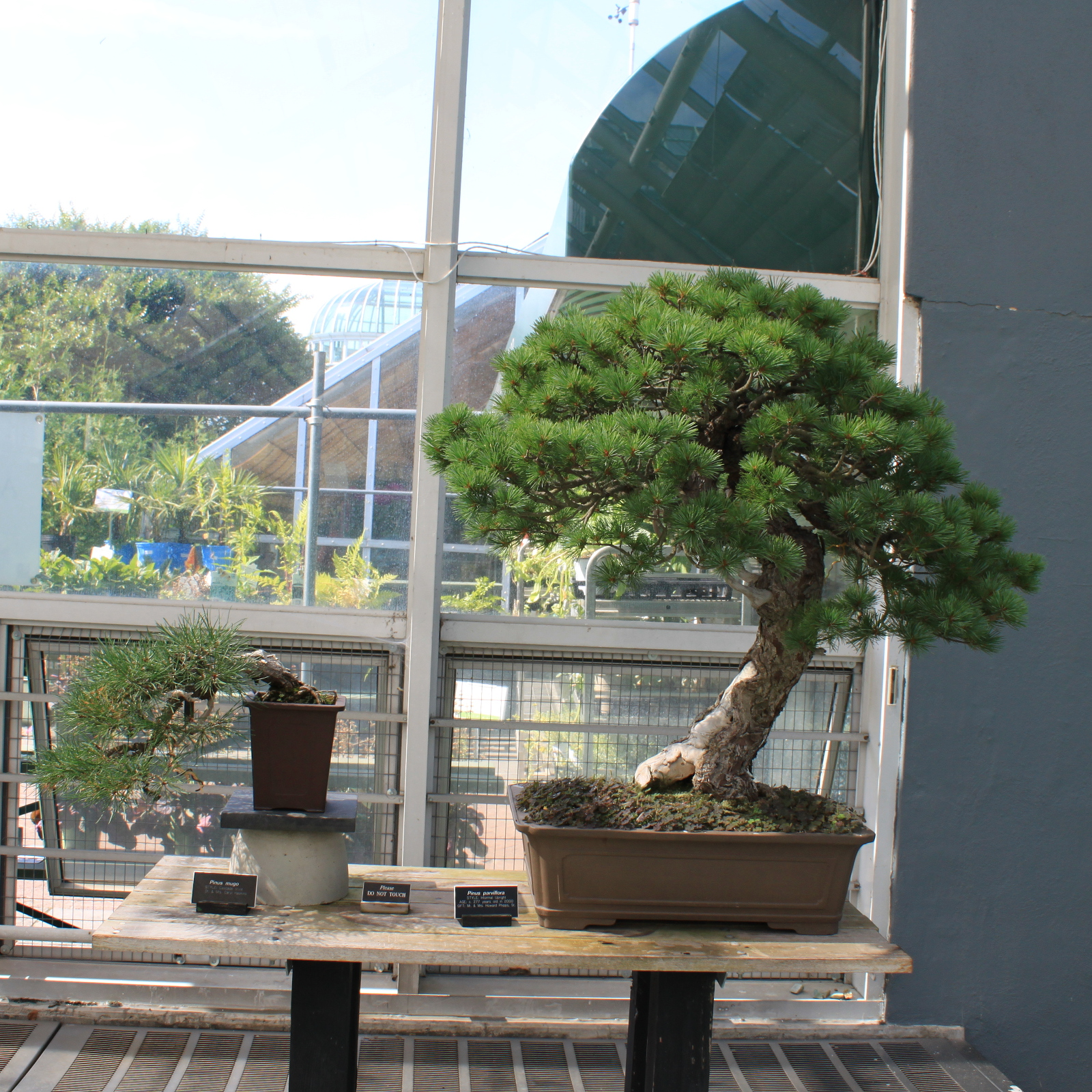 Borovica málokvetá (Pinus parviflora)