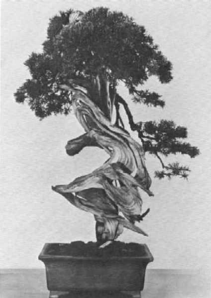 Borievka čínska (Juniperus chinensis var. sargentii).