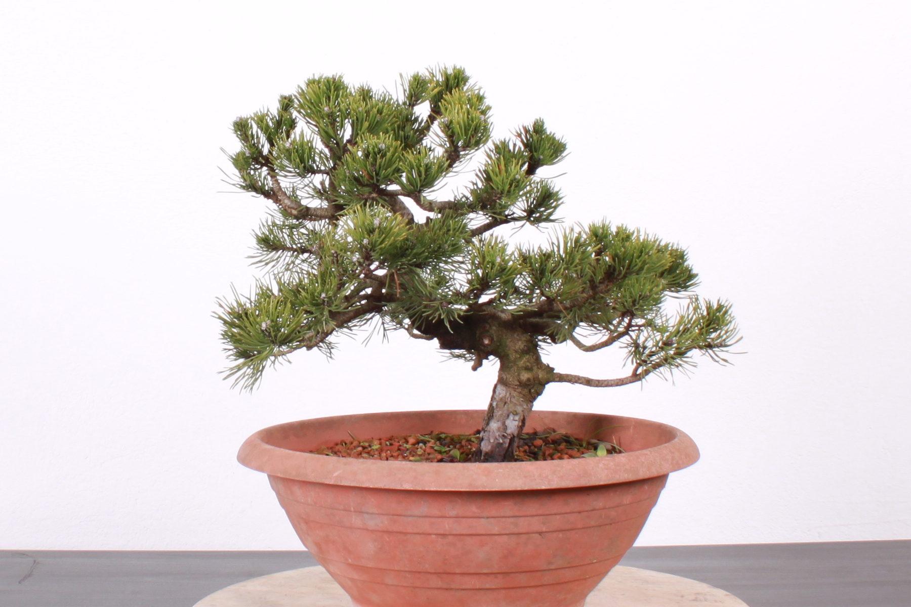 Pinus pred tvarovaním