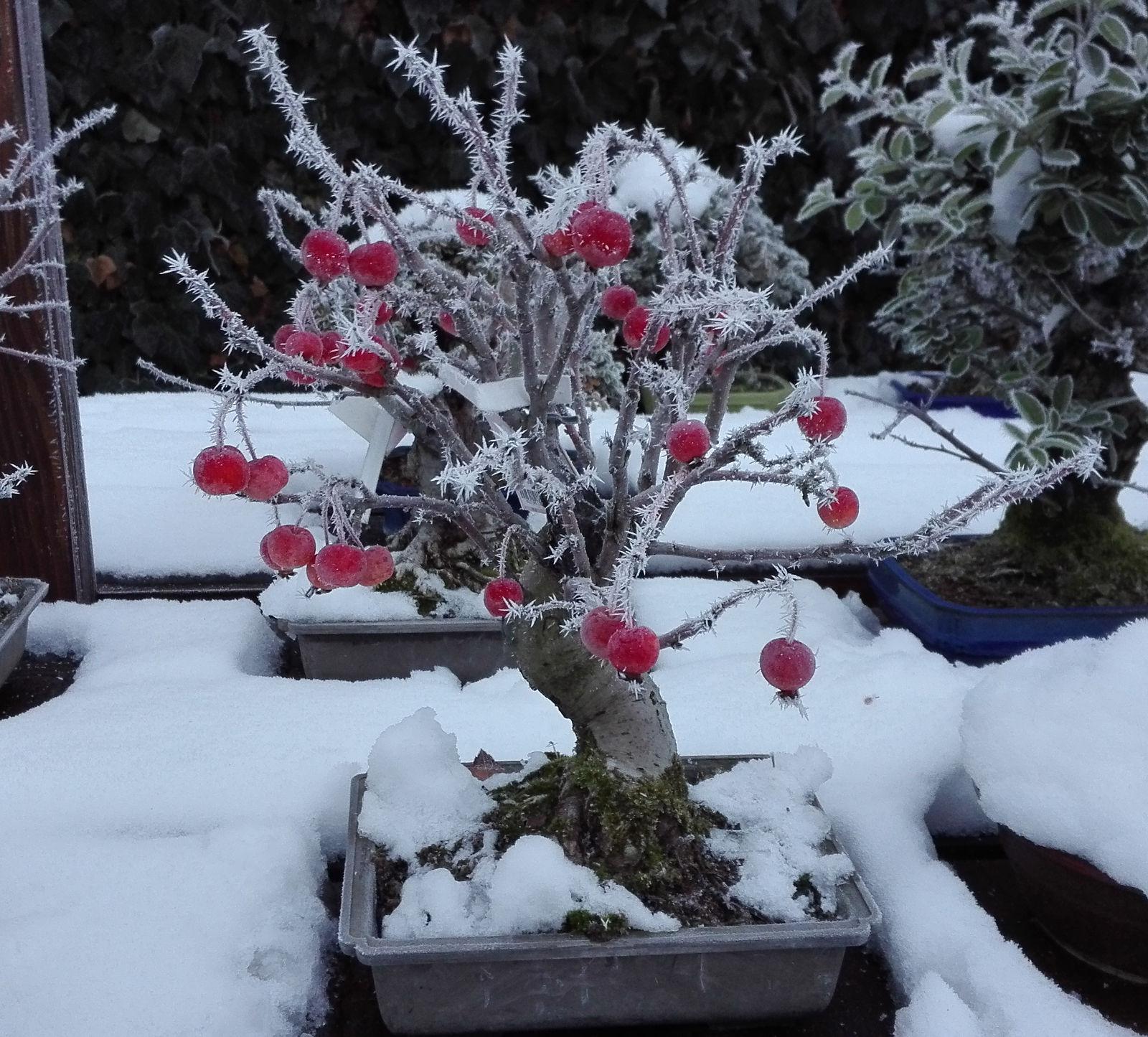 Na jabloni sa aj v mraze držia jej plody