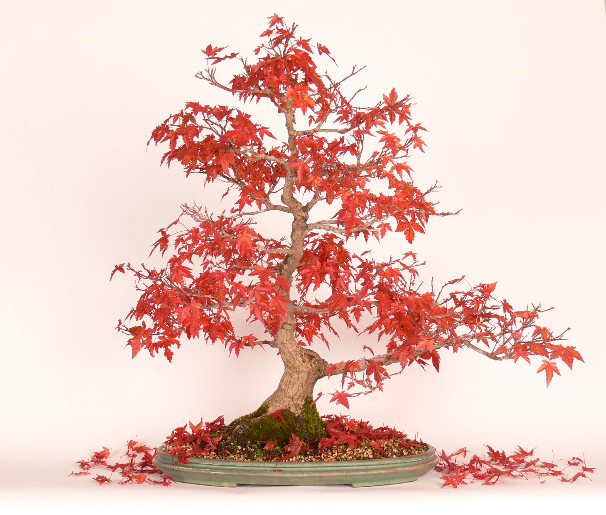 Krásne sfarbené lístie Javora dlaňovitolistého (Acer palmatum)