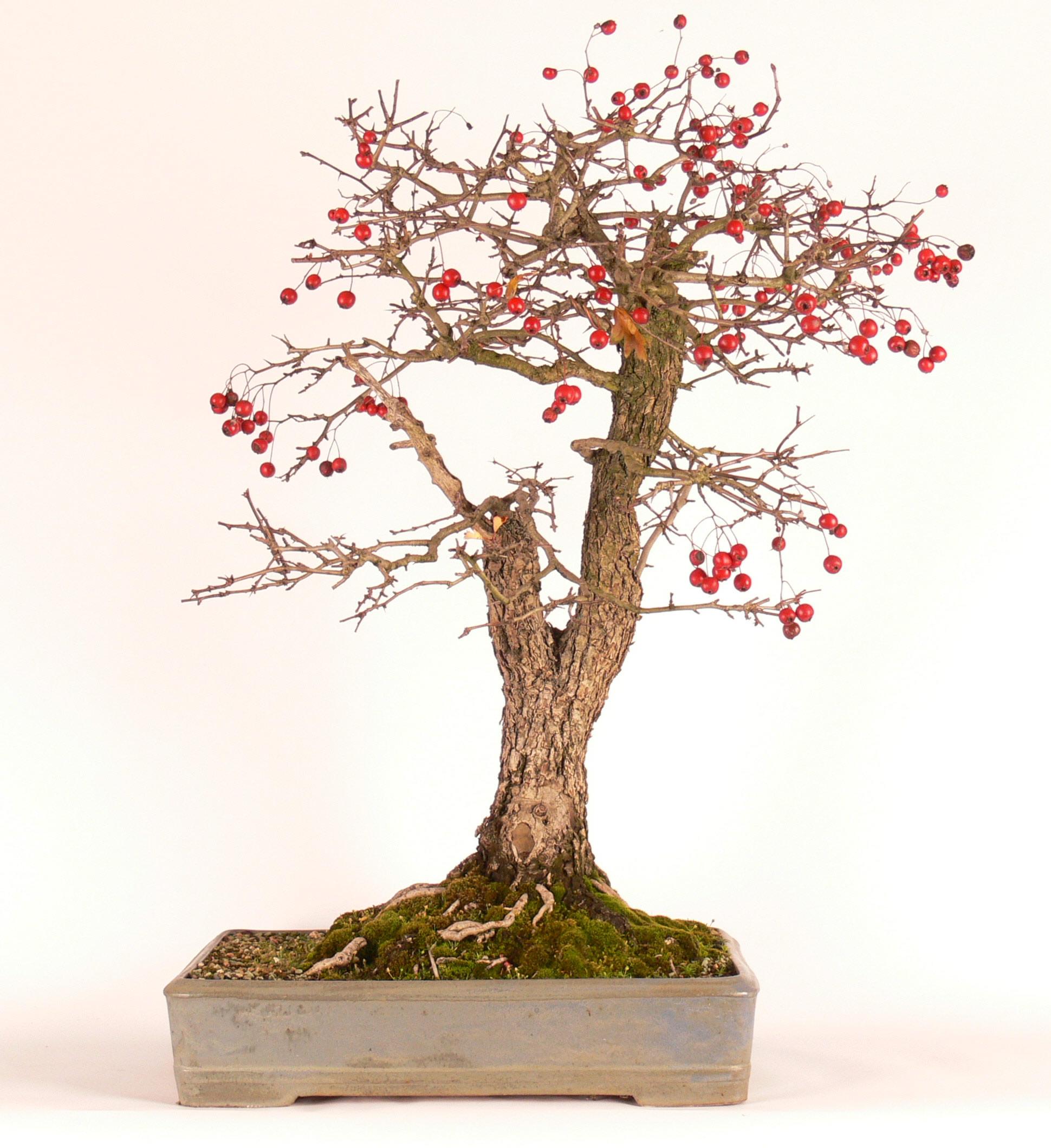 Po opadnutí sa ukážu aj dozreté plody ako ma Hloh jednosemenný (Cartaegus monogyna)
