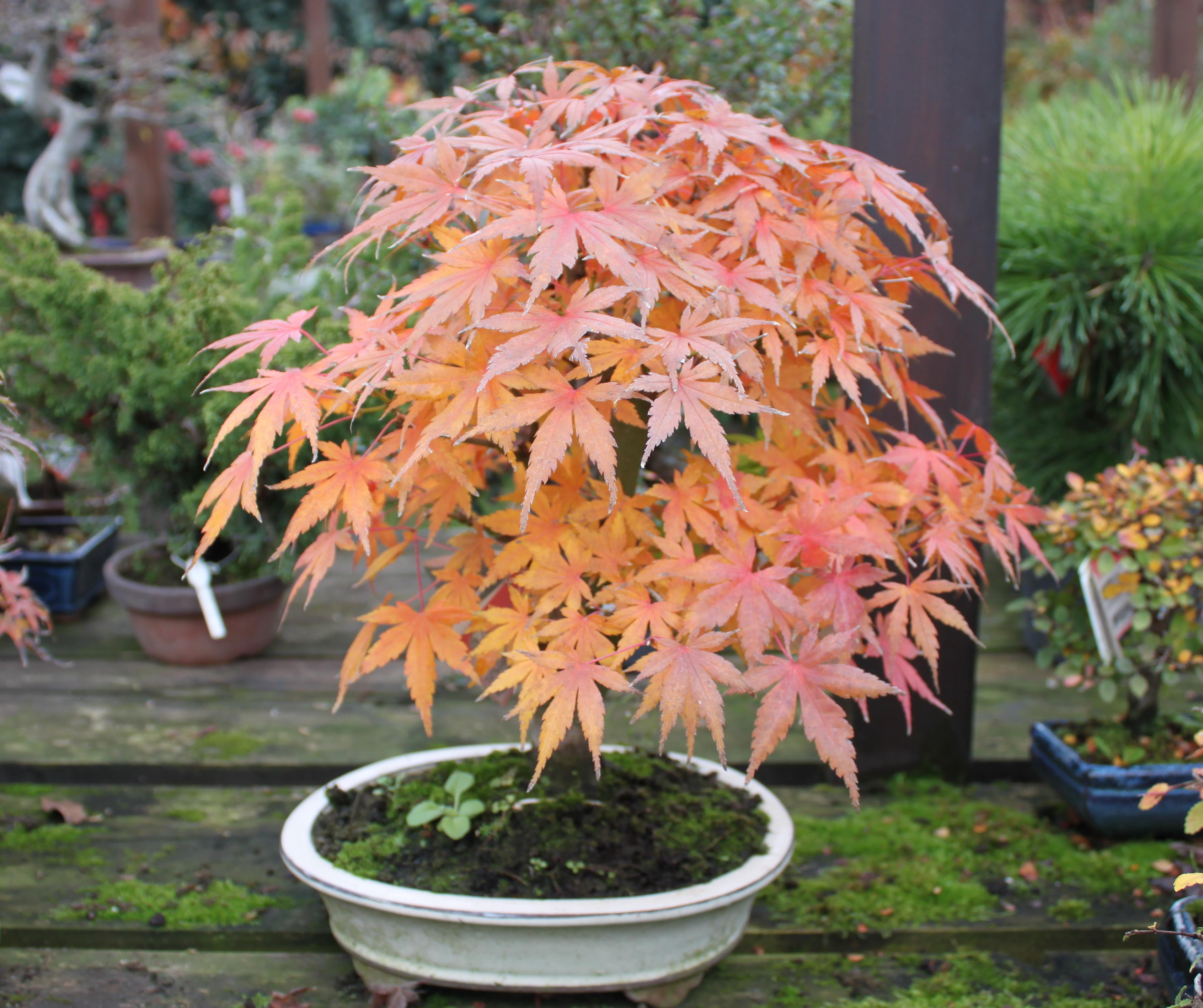 Lístie sa pekne vyfarbuje a javor ukáže jesenný šat