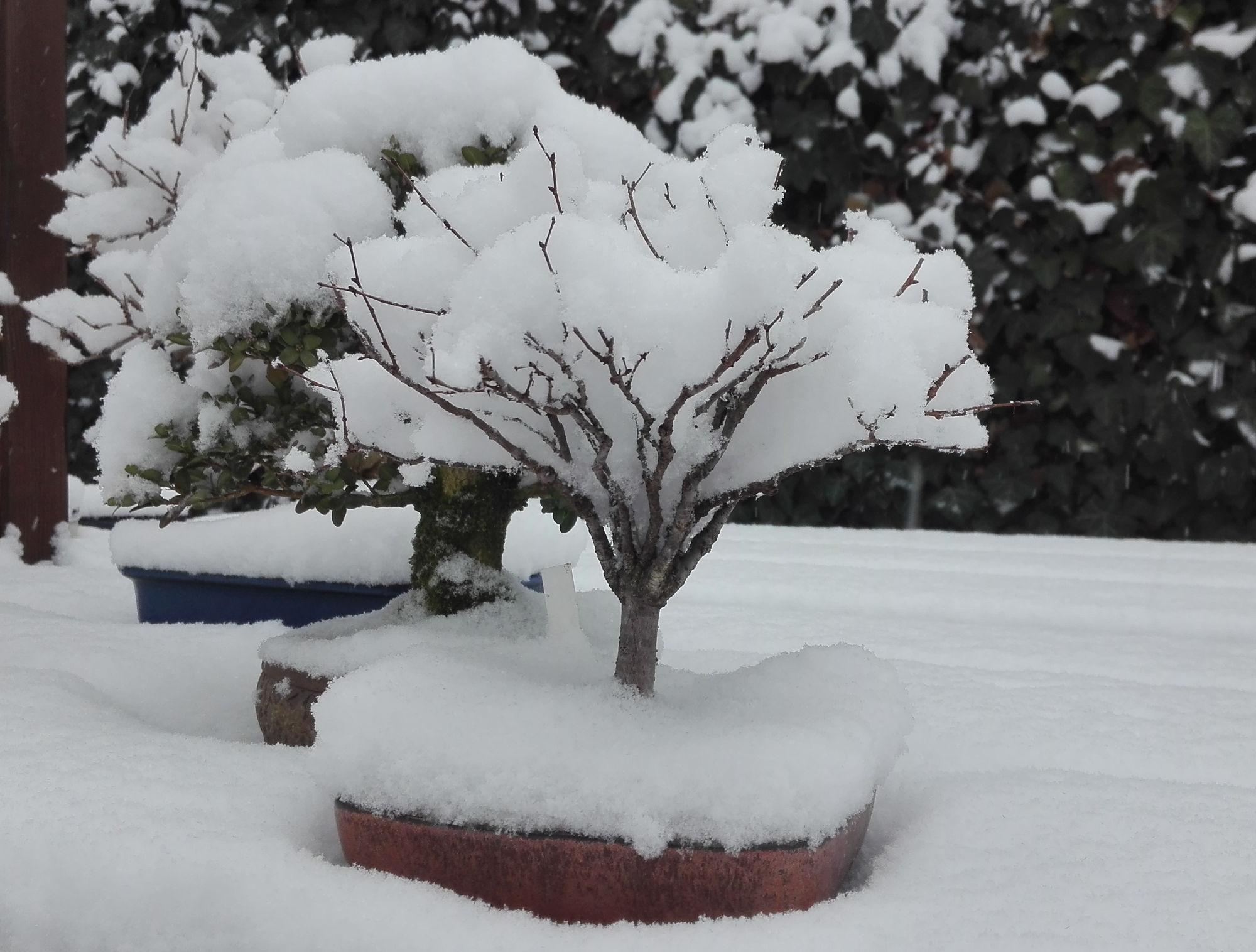Zelkova pod snehovou prikrývkou